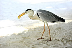 Egret in Maldives Royalty Free Stock Image