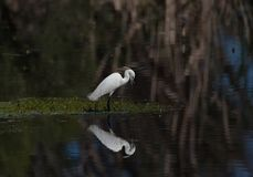 Egret. Male egret reflection on the lake Stock Photo