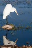 Egret mandado la cuenta amarillo Imágenes de archivo libres de regalías
