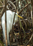 Egret in mangroves royalty free stock images