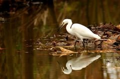 Egret in Marsh. Egret wadding in marsh with reflection in water Stock Photo