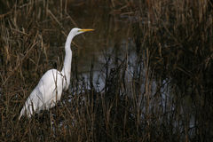 Egret in marshland Stock Photos
