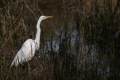 Egret in marshland. White Egret in marshland against dark background Stock Photos