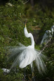Egret in mating ritual display, with breeding plumage. Royalty Free Stock Photos