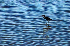 egret morza płycizna obrazy royalty free