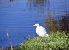 Egret na brzeg zdjęcie royalty free