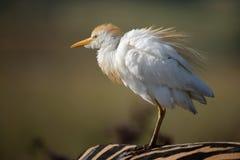 Egret na zebra Foto de Stock