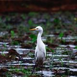egret natury czapliej obszaru rosyjski voronezh white fotografia stock