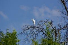 egret natury czapliej obszaru rosyjski voronezh white Obraz Royalty Free