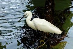 egret natury czapliej obszaru rosyjski voronezh white Fotografia Royalty Free
