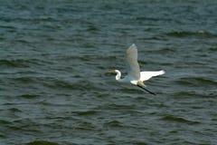 egret natury czapliej obszaru rosyjski voronezh white Obrazy Stock