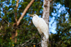 Egret near a river in a tropical rain forest. An Egret perches on a tree branch overlooking a jungle river in Borneo royalty free stock image