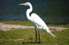 An Egret Near Water stock image