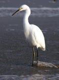Egret nel flusso fotografie stock libere da diritti