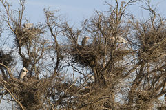 Egret nests in tree Stock Image