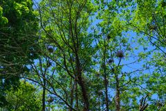 Many Egret Nests. Egret nests in trees in the Pacific Northwest Stock Photo