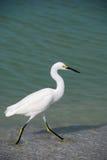 Egret nevado Fotos de archivo