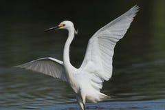 Egret nevado Imagenes de archivo