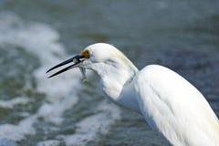 Egret nevado fotografía de archivo libre de regalías