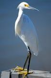 Egret nevado Foto de Stock Royalty Free