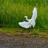 Egret nevado Imagem de Stock Royalty Free
