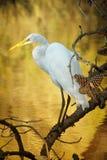 Egret nevado Fotografia de Stock