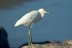 Egret nevado Fotos de Stock Royalty Free