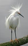 Egret nevado Fotografía de archivo
