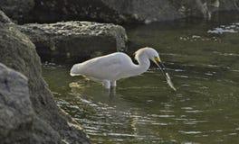 Egret nevado com peixes Imagem de Stock