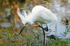 Egret nevado com plumagem da criação de animais Imagem de Stock