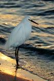 Egret nevado de la puesta del sol Imagen de archivo