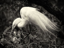 Egret nevado e bebê no ninho--preto e branco Fotos de Stock