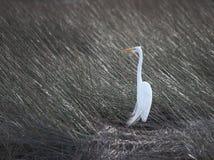 Egret nevado e grama do mar Fotografia de Stock