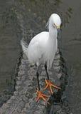 Egret nevado e jacaré Fotografia de Stock