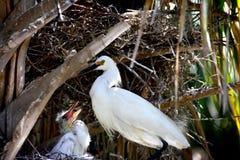 Egret nevado e pintainho em um ninho Fotografia de Stock Royalty Free