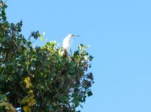 Egret nevado em uma árvore Imagem de Stock Royalty Free