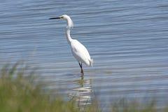 Egret nevado em uma lagoa do pantanal imagem de stock