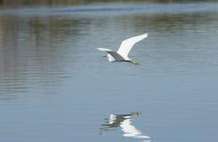 Egret nevado em voo sobre o lago Fotos de Stock Royalty Free