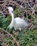Egret nevado empoleirado no ramo na floresta tropical Fotografia de Stock Royalty Free