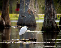 Egret nevado en el pantano Foto de archivo