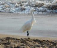 Egret nevado en la playa imagenes de archivo