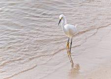 Egret nevado en la playa Fotografía de archivo