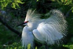 Egret nevado en modo preening Fotografía de archivo