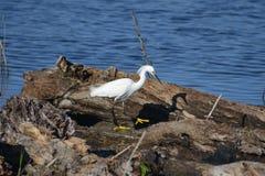 Egret nevado en registro Fotografía de archivo libre de regalías