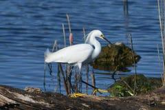 Egret nevado en registro Imágenes de archivo libres de regalías