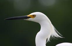 Egret nevado en viento Fotos de archivo libres de regalías