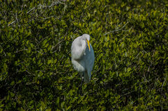 Egret nevado entre as hortaliças Fotos de Stock Royalty Free