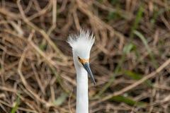 Egret nevado irritado Imagem de Stock