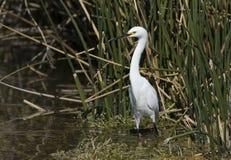 Egret nevado na lagoa Imagens de Stock Royalty Free