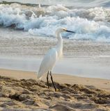 Egret nevado na praia foto de stock royalty free